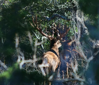 Red stag2