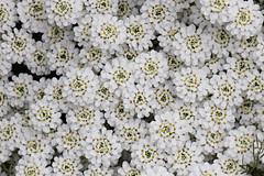 White petal storm