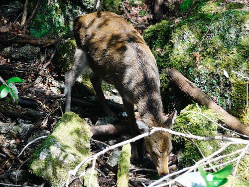 Shiratani Unsuikyo Ravine: Yaku Deer