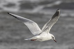 Photo of Black-headed Gull