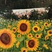"Sunflowers 18"" x 24"" $800.00"