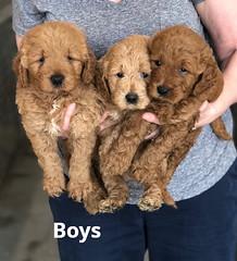 Ginger Boys 2-13