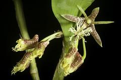 Dendrobium comatum (Blume) Lindl., Gen. Sp. Orchid. Pl.: 76 (1830)