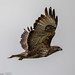Buzzard in flight (Buteo buteo)