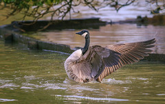 Photo of A Canada Goose In A Flap