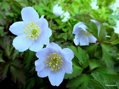 Anemone nemorosa 'Blue Beauty'