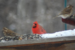 Northern cardinal and friends