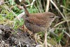 Wren forraging on the shoreline near Newport on Tay