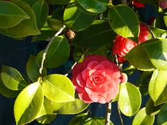 Camellia @ Annecy-le-Vieux