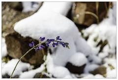 Bluebonnet in the Snow