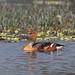 A Surprise sighting - Fulvous Whistling Duck