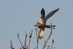 DSC_4142 Torenvalk mn vr : Faucon crecerelle : Falco tinnunculus : Turmfalke : Common Kestrel : Cernicalo vulgar