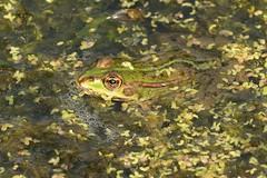 DSC_1087 Meerkikker of grote groene kikker, More Frog aut rana viridis magnum, Plus Frog ou grande grenouille verte, Mehr Frosch oder große grüne Frosch, More Frog or big green frog