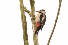 _DSC2528 Grote Bonte Specht : Pic epeiche : Picoides major : Buntspecht : Great Spotted Woodpecker