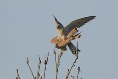 DSC_4140 Torenvalk : Faucon crecerelle : Falco tinnunculus : Turmfalke : Common Kestrel : Cernicalo vulgar