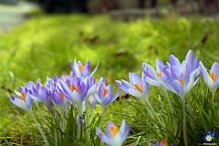 Lentebode - Spring messenger