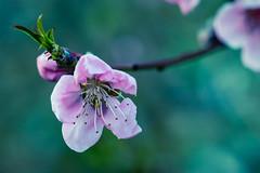 2021-052 Peach Blossom