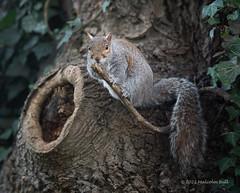 Photo of Churchyard Squirrel (23)