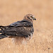 A Montagu's Harrier Female roosting communally