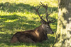Red Deer Stag, Tatton Park, UK