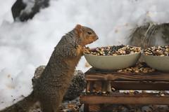 Backyard Red & Fox Squirrels (Ypsilanti, Michigan) - 53/2021 256/P365Year13 4639/P365all-time (February 22, 2021)