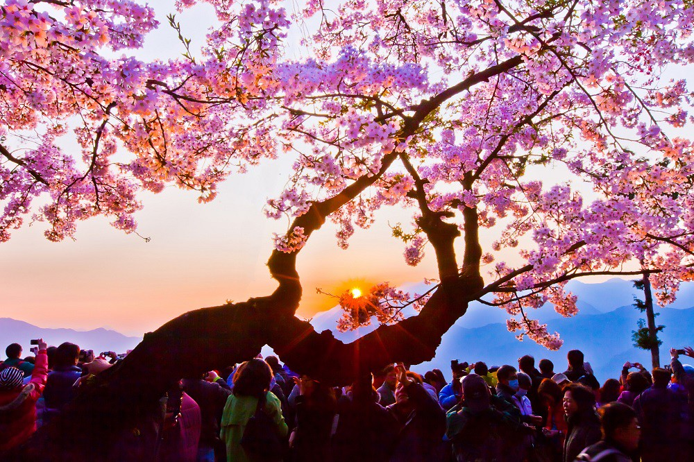 (圖3)春天到阿里山賞日出還能同時欣賞到美麗的櫻花