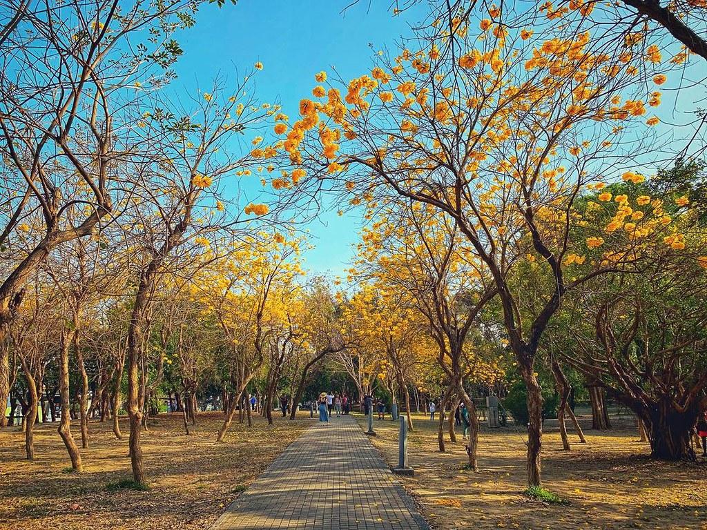 (圖5)春天到台南億載金城踏青別忘了到一旁的億載公園拍美照,漫步黃花風鈴木的金黃花海下 (圖片授權IG @lao_maio)