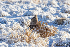 February 21, 2021 - A merlin hangs out in the fresh snow. (Tony's Takes)