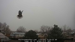 February 9, 2021 - A dove does a flyby. (ThorntonWeather.com)