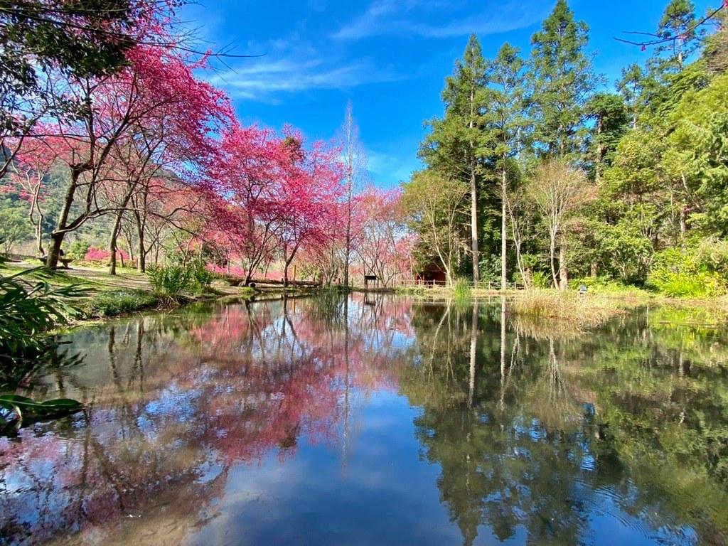 (圖4)春天限定粉綠相間的絕美景象,與奧萬大國家森林遊樂區內豐富的生態相互點綴 (圖片授權:奧萬大國家森林遊樂區)