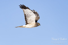 February 21, 2021 - A male northern harrier in Adams County. (Tony's Takes)