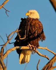 February 20, 2021 - A beautiful bald eagle at dawn. (Bill Hutchinson)