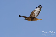 February 14, 2021 - A red tailed hawk patrols the fairgrounds. (Tony's takes)