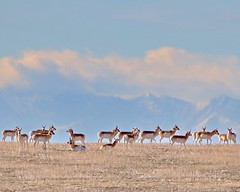 February 3, 2021 - Pronghorn on the plains. (Bill Hutchinson)