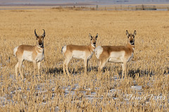 February 20, 2021 - A trio of pronghorn on the plains. (Tony's Takes)