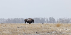 February 13, 2021 - A lone bison on a cold morning. (Tony's Takes)