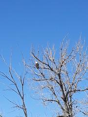 February 8, 2021 - A bald eagle watches over Eastlake. (Lois Killion)