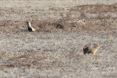 February 7, 2021 - A black footed ferret watches for a meal. (Tony's Takes)