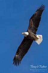 February 6, 2021 - A bald eagle takes to the skies (Tony's Takes)