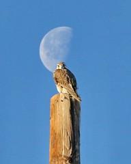 February 3, 2021 - Prairie falcon and the moon. (Bill Hutchinson)