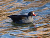 Moorhen on the Forth and Clyde Canal, Bainsford