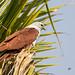 A Brahminy Kite waiting to strike a prey