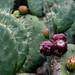 Cactii, Mendocino Coast Botanical Gardens 9/30/20