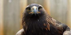 Photo of Golden Eagle (C)