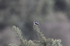 Photo of Long-tailed Tit