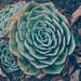 Succulent, Mendocino Coast Botanical Gardens 9/30/20