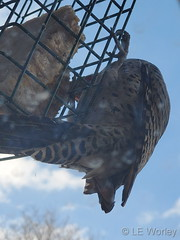 February 24, 2021 - Flicker at the feeder. (LE Worley)