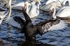 Squeaky the Black Swan