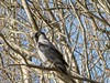 20210225 Hooded Crow 2