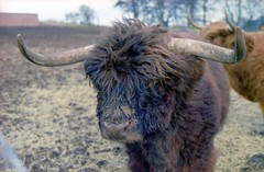 Photo of 14 - Highland Cattle